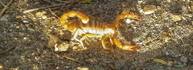 skorpionok